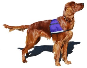 A medium purple ID Cape worn by Irish Setter Cooper